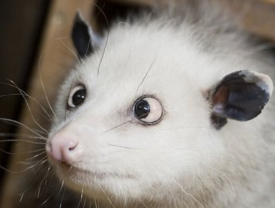 Cross-eyed Possum Takes Over Germany