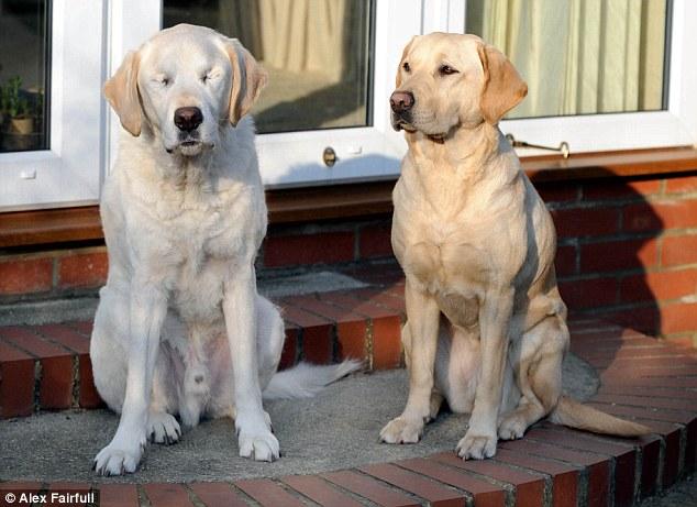 Blinded Seeing Eye Dog Gets Seeing Eye Dog