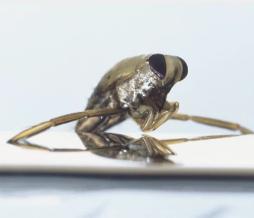 Bug's Penis Makes It The Planet's Loudest Creature!