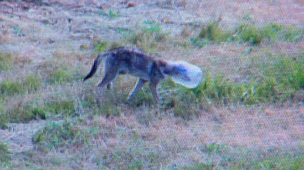 Gay Couple Saves Coyote From Jar Stuck on Head – Huh?