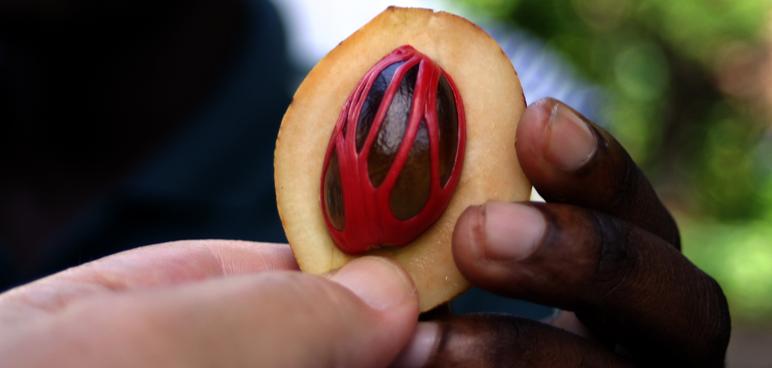 Drug of the Week: Nutmeg