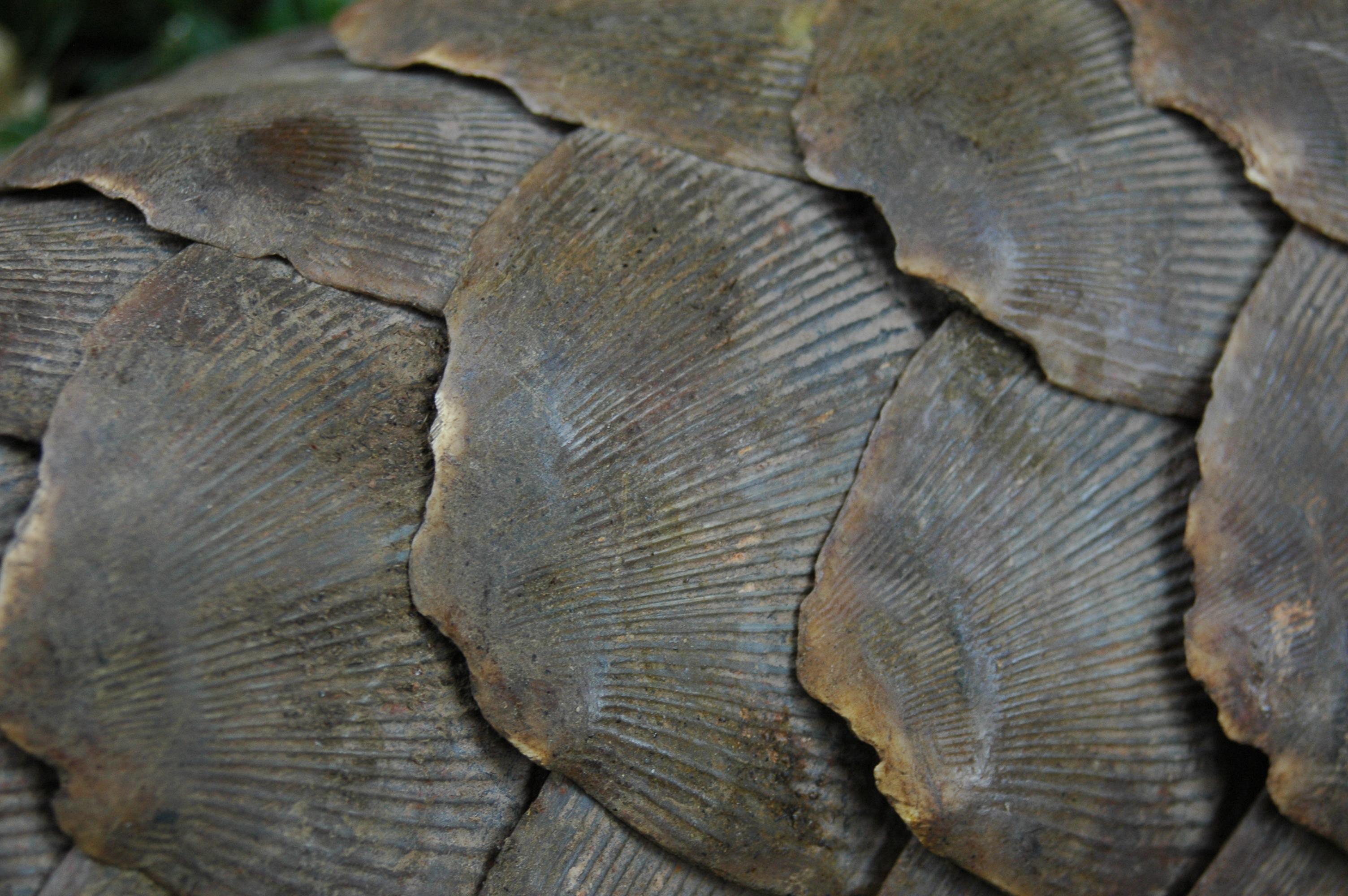 pangolin, endangered, adorable, critically endangered