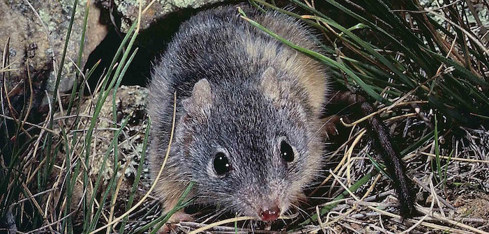 """Adorably Tiny Marsupial Brings New Meaning To """"Le Petite Morte"""""""