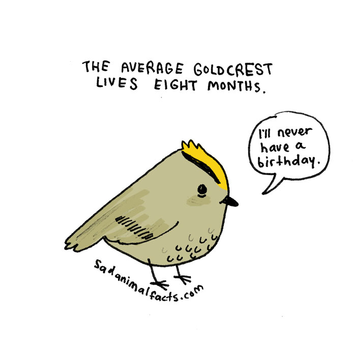 goldcrest, sad, animal facts, cartoon, gay blog, queer, lgbt, funny