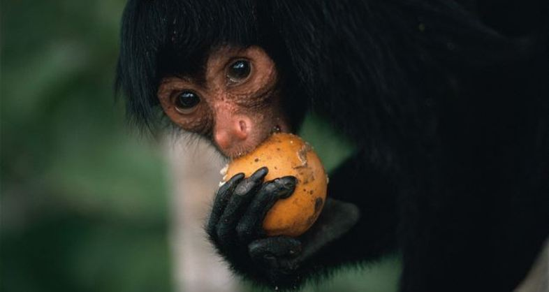 PHOTOS: Black Spider Monkeys Are Blushing With Cuteness