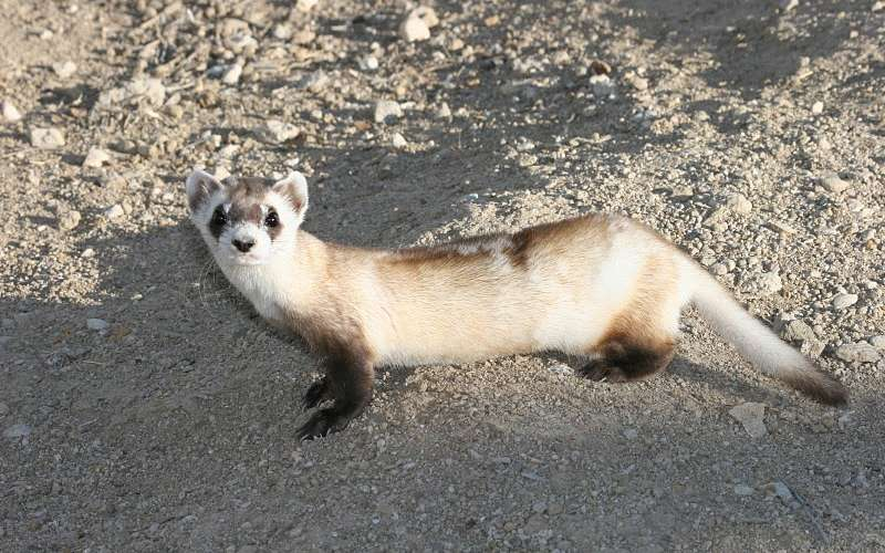 PHOTOS: Black-Footed Ferrets Are Loveable Weasels