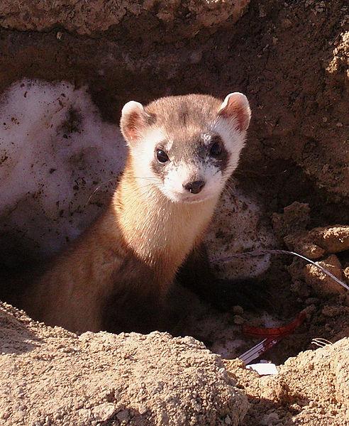Black-Footed Ferrets, Weasels, Endangered