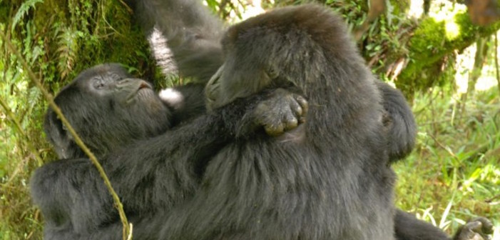 Bisexuals In The Mist: First Photo Of Two Female Gorillas Having Sex