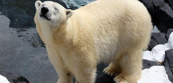 Polar Bear Dies Suddenly After Her Long-Term Girlfriend Is Shipped Away