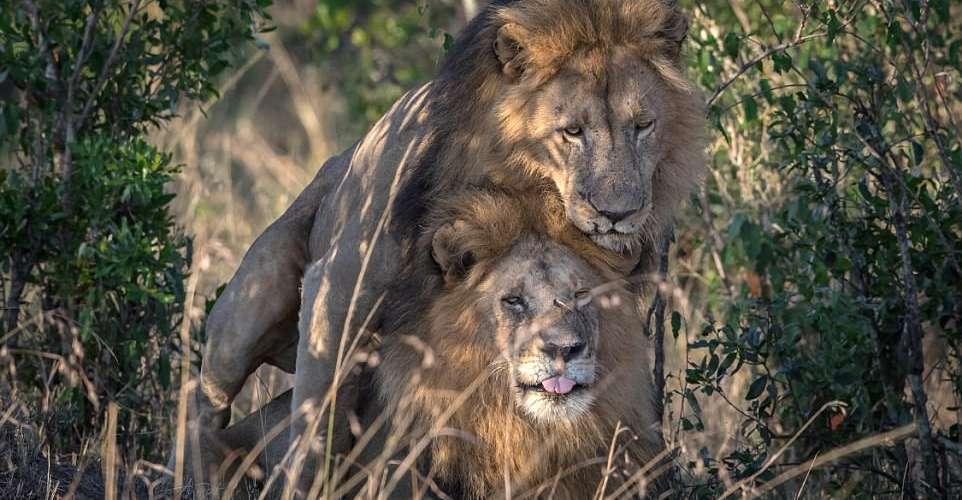 Leões gays são vistos em rara cena de carinho no Quênia