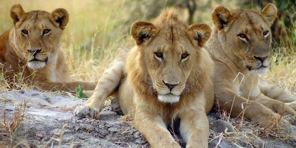 Three 'Daddy Lions' Had a Gay Orgy at a Safari Park in England