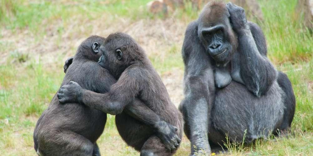 Estos Gorilas Gay Nos Recuerdan que la Homosexualidad Animal es Mucho más Común de lo que Pensamos